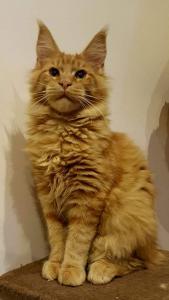 Котенок питомника