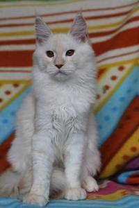 Урса -5 месяцев девочке.Окрас красный на серебре