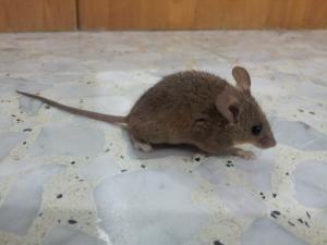 Выведение мышей