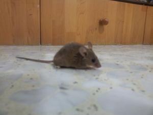 Уничтожение мышей в Израиле.