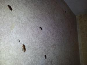 Тараканы в Бат Яме.