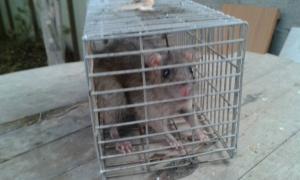 Серая крыса Явне.