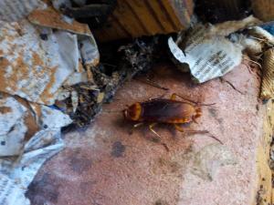 Большие тараканы в Израиле.