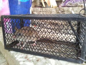 Как избавиться от крыс и мышей в Израиле.
