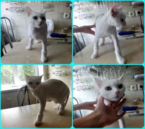Стрижка длинношерстного кота максимально коротко.