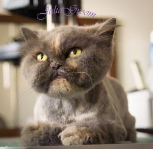 Стрижка перситской кошки