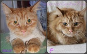Стрижка длиношерстнго кота