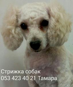 Парикмахер собак Батьям, Хулон, Рамла, Бер Йаков. Если Вы хотите подстричь собаку позвоните, пожалуйста, предварительно и запишитесь по телефону 0534234021. С любовью к вашим питомцам, Тамара:)