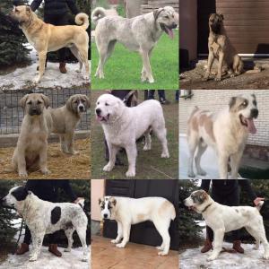 Наши собаки.